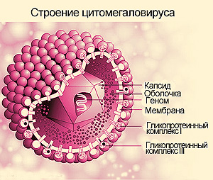 вирус герпеса цитомегало