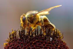 Польза пчелиного яда