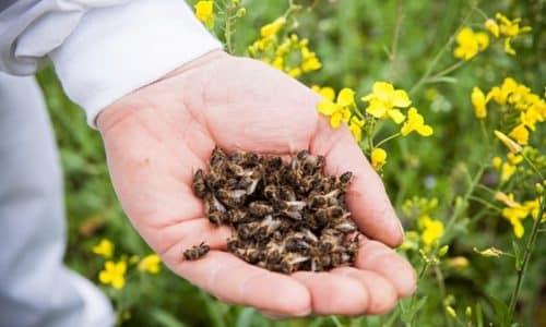 Пчелиным подмором лечат воспаления многих органов