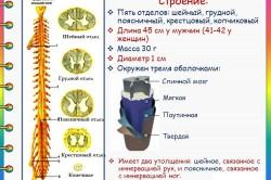 Строение и характеристики спинного мозга
