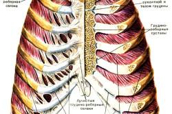 Суставы грудной клетки