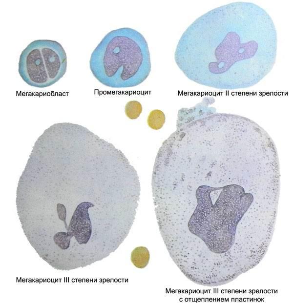 Строение тромбоцитов человека