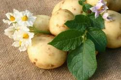 Картофель для изготовления компресса от кашля