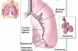 Анатомия дыхательной системы
