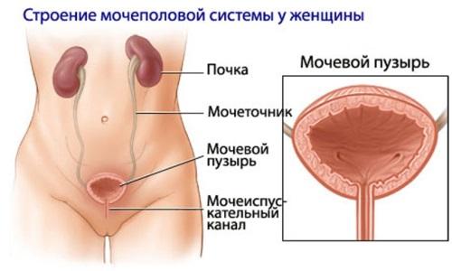 Женщины более подвержены развитию цистита из-за анатомических особенностей строения мочеполовой системы