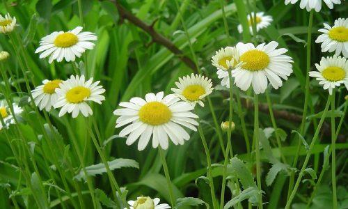 Антисептическим действием обладают цветы ромашки
